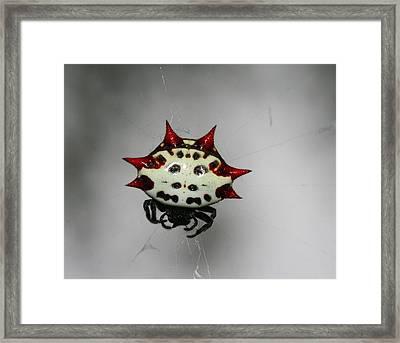 Spiny Orb Weaver Framed Print by April Wietrecki Green