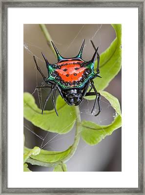 Spinybacked Orbweaver Spider Solomon Framed Print by Piotr Naskrecki