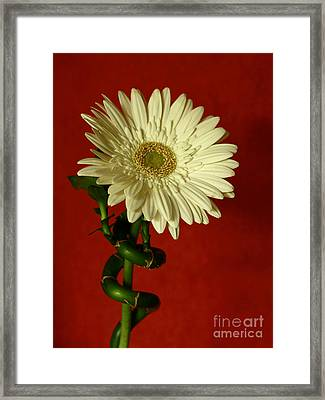 Spiral Of Life   Gerber Daisy Framed Print by Inspired Nature Photography Fine Art Photography