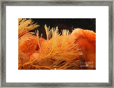 Spiral-tufted Bryozoan Framed Print by Ted Kinsman