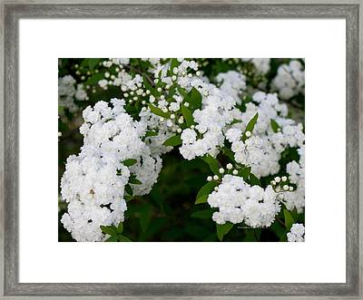 Spirea Blooms Framed Print by Maria Urso