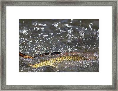 Splashes Of Carp Framed Print