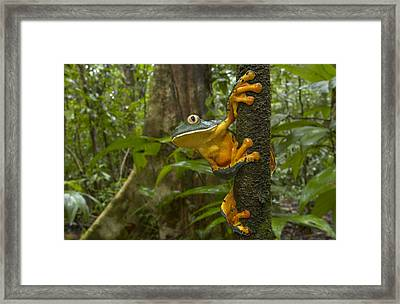 Splendid Leaf Frog  Costa Rica Framed Print by Piotr Naskrecki