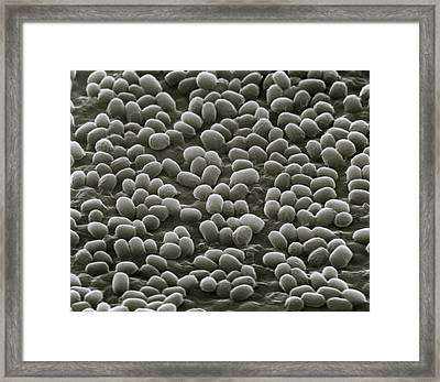 Spores Of Bacillus Anthracis Bacteria Framed Print by Nibsc