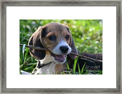 Spot The Pocket Beagle Framed Print