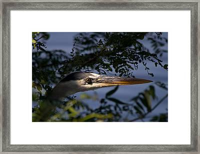 Spotlighted Blue Heron Framed Print by DK Hawk