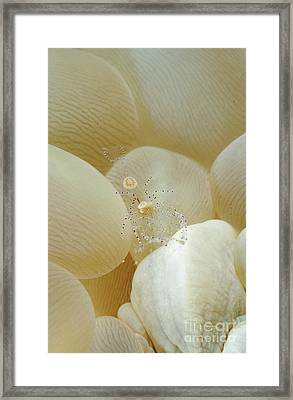 Spotted Cleaner Shrimp In Beige Bubble Framed Print by Mathieu Meur
