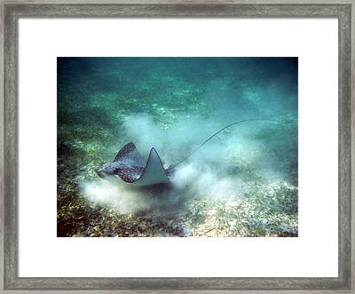 Spotted Eagle Ray Feeding Framed Print