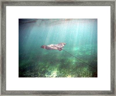 Spotted Eagle Ray In Flight Framed Print