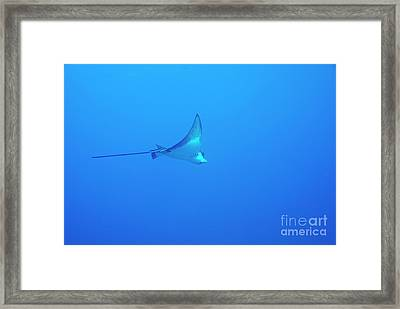 Spotted Eagle Ray Framed Print by Sami Sarkis