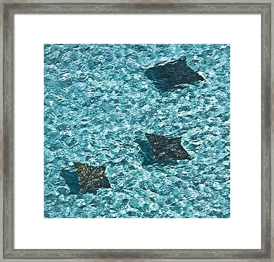 Spotted Eagle Rays 3 Framed Print by Patrick M Lynch