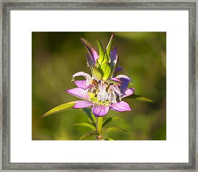 Spotted Horsemint Framed Print by Kenneth Albin