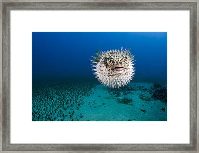 Spotted Porcupinefish II Framed Print by Dave Fleetham