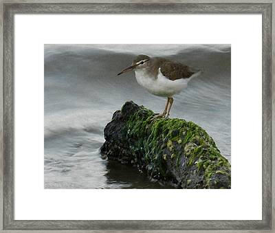 Spotted Sandpiper At Wilcox Framed Print by Grace Dillon