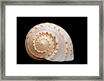 Spotted Sea Snail Shell Framed Print by Michael Smith Photography/Studio One Pensacola