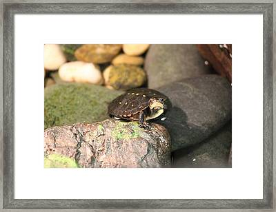 Spotted Turtle Framed Print by Chad  Laba