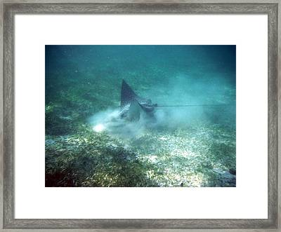 Sppoted Eagle Ray In The Feed Framed Print