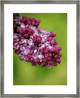 Spray Of Lilac II Framed Print by Laine Zunte