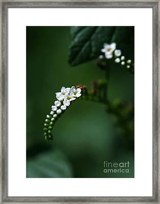 Spray Of White Flowers Framed Print by Sabrina L Ryan