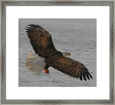 Spread Eagle Framed Print by Kym Backland