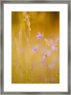 Spreading Bellflower In Backlighting Framed Print by Olaf Broders
