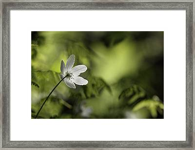 Spring Anemone Framed Print by Ulrich Kunst And Bettina Scheidulin