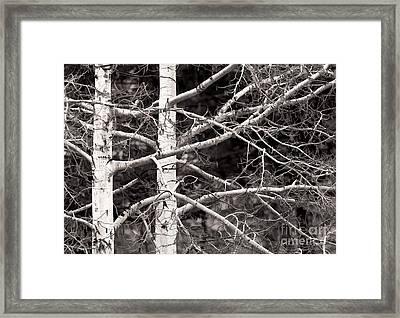 Spring Aspens Framed Print by Clare VanderVeen