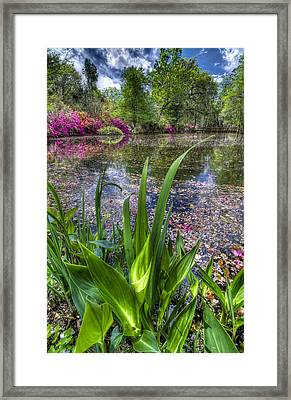 Spring At Magnolia Plantation - Charleston Sc Framed Print by Drew Castelhano