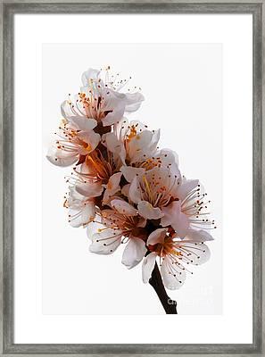 Spring Blooms Framed Print