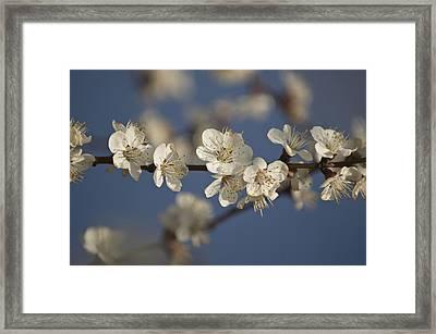 Spring Blossoms Framed Print by Ayhan Altun