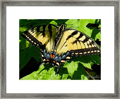 Spring Butterfly Framed Print by Debra     Vatalaro