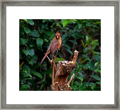 Spring Cardinal Framed Print
