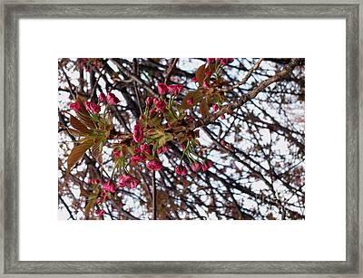 Spring Cherry Blossoms Framed Print by Rayofra Ra