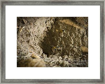 Spring Cleaning Pair Of Wasps Carrying Mud From A Yellow-jacket Wasps Nest Framed Print by Andy Smy
