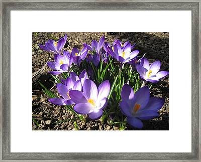 Framed Print featuring the photograph Spring Crocus by AmaS Art
