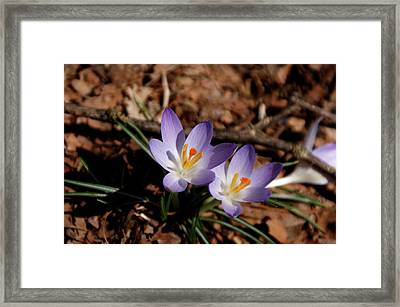 Framed Print featuring the photograph Spring Crocus by Paul Mashburn