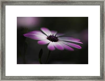 Spring Daisy Framed Print by Saija  Lehtonen
