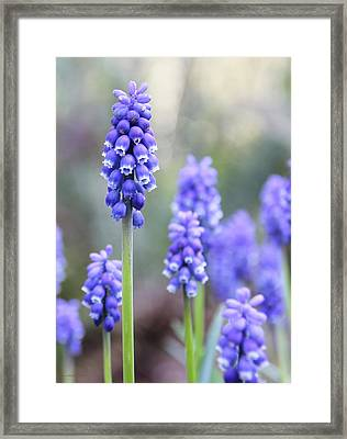 Spring Grape Hyacinth Flowers Framed Print by Jennie Marie Schell