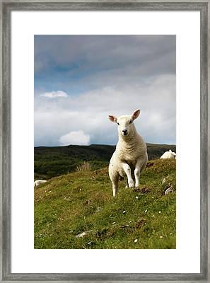 Spring Lamb On Hillside Framed Print by Kevin Day