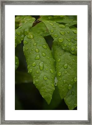 Spring Leaves Framed Print by Dickon Thompson