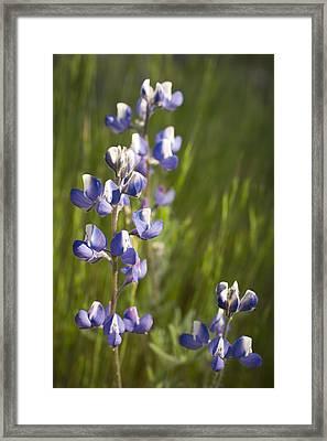 Spring Lupines  Framed Print by Priya Ghose