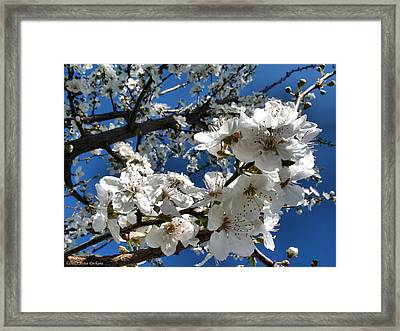 Spring Pear Blossoms 2012 Framed Print by Joyce Dickens
