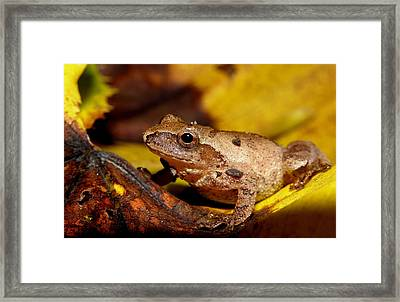 Spring Peeper On Fall Leaves Framed Print by Griffin Harris