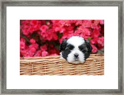 Spring Puppy  Framed Print by Darren Fisher