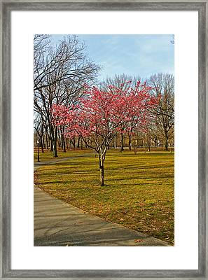Spring Tree Blooms  Framed Print