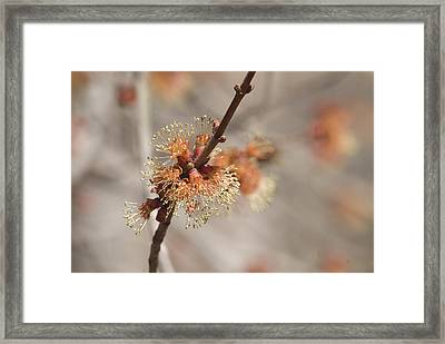 Framed Print featuring the photograph Spring Tree Bud by Lisa Missenda