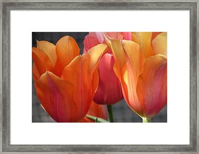 Spring Tulips Framed Print by Rebecca Overton