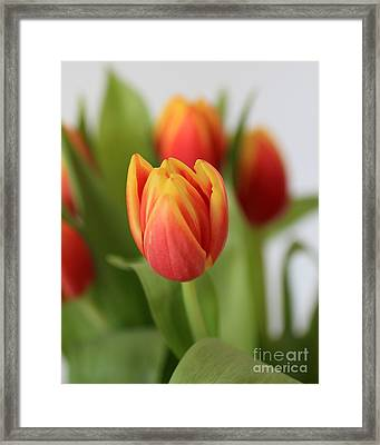 Spring Tulips Framed Print by Ursula Lawrence