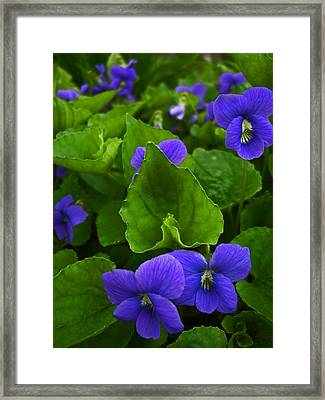 Spring Violets Framed Print by Yvonne Scott