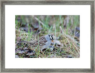 Spring White Crowned Sparrow Framed Print